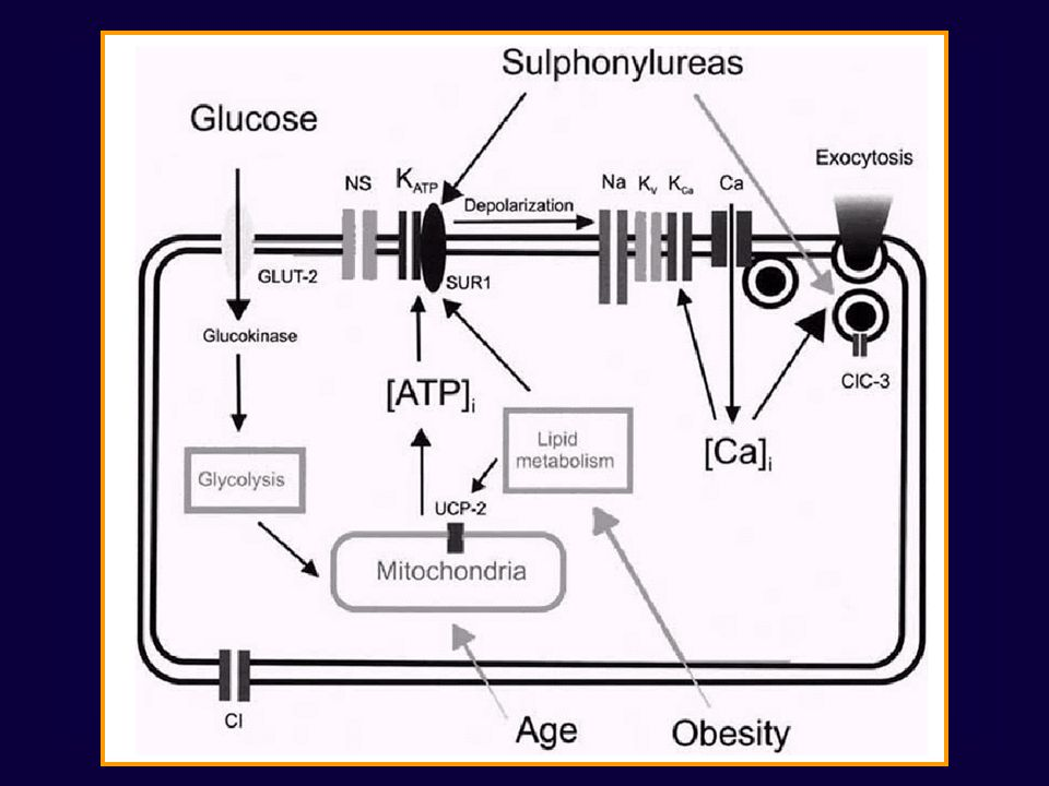 GLP-1 Incretin hormone secreted by jejunal and ileal L cells in response to a meal Stimulates insulin secretion Decreases glucagon secretion Slows gastric emptying Reduces fuel intake (increases satiety) Improves insulin sensitivity Increases -cell mass and improves -cell function (animal studies)