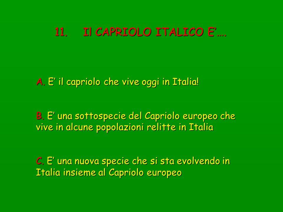 11. Il CAPRIOLO ITALICO E…. A. E il capriolo che vive oggi in Italia! B. E una sottospecie del Capriolo europeo che vive in alcune popolazioni relitte