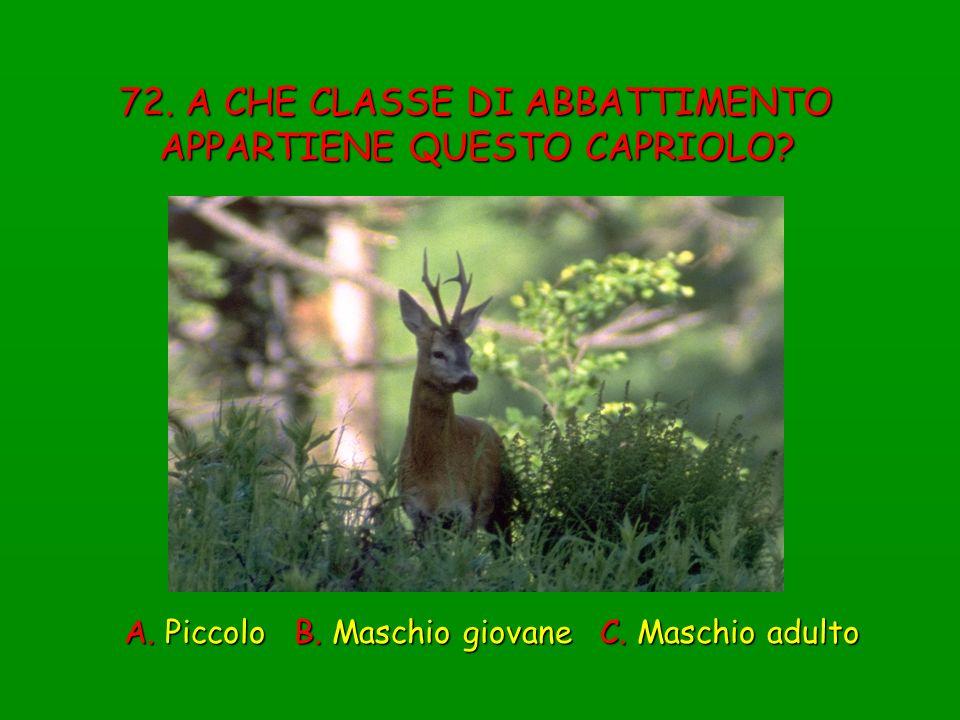 72. A CHE CLASSE DI ABBATTIMENTO APPARTIENE QUESTO CAPRIOLO? A. Piccolo B. Maschio giovane C. Maschio adulto