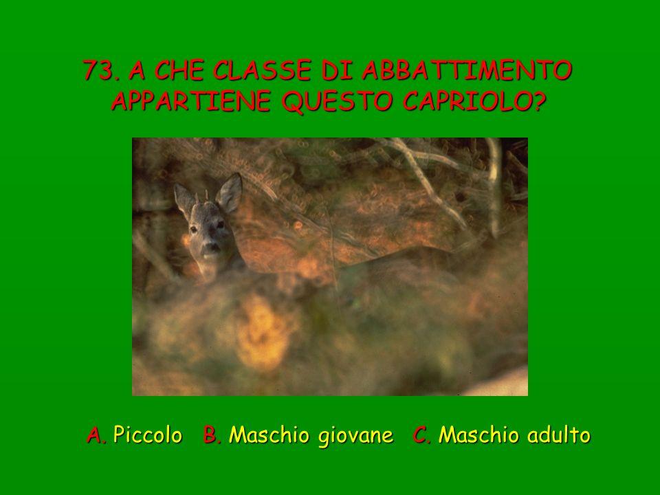 73. A CHE CLASSE DI ABBATTIMENTO APPARTIENE QUESTO CAPRIOLO? A. Piccolo B. Maschio giovane C. Maschio adulto