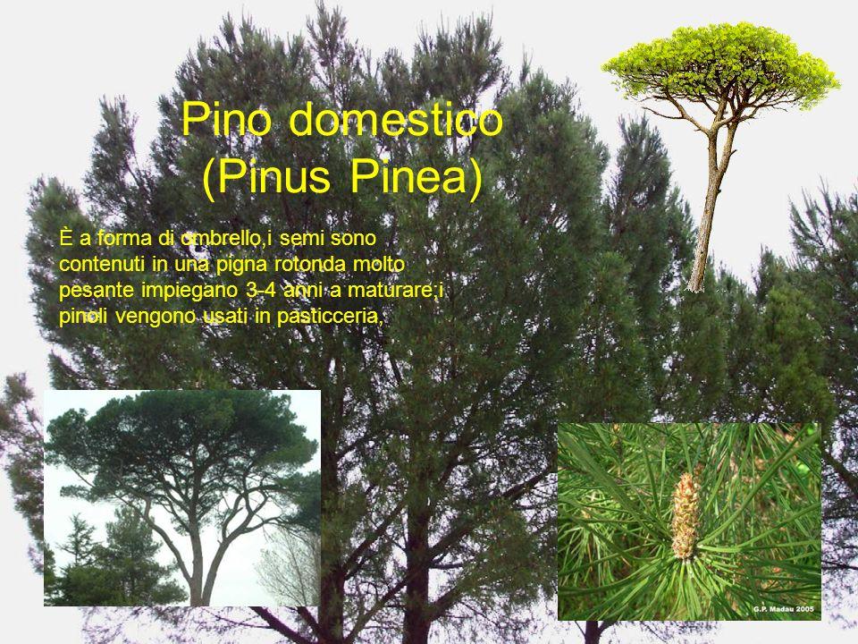 Pino domestico (Pinus Pinea) È a forma di ombrello,i semi sono contenuti in una pigna rotonda molto pesante impiegano 3-4 anni a maturare;i pinoli ven