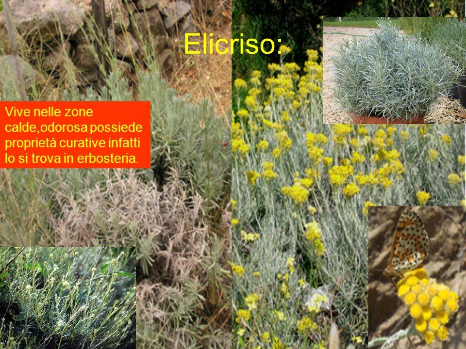 Elicriso: Vive nelle zone calde,odorosa possiede proprietà curative infatti lo si trova in erbosteria.