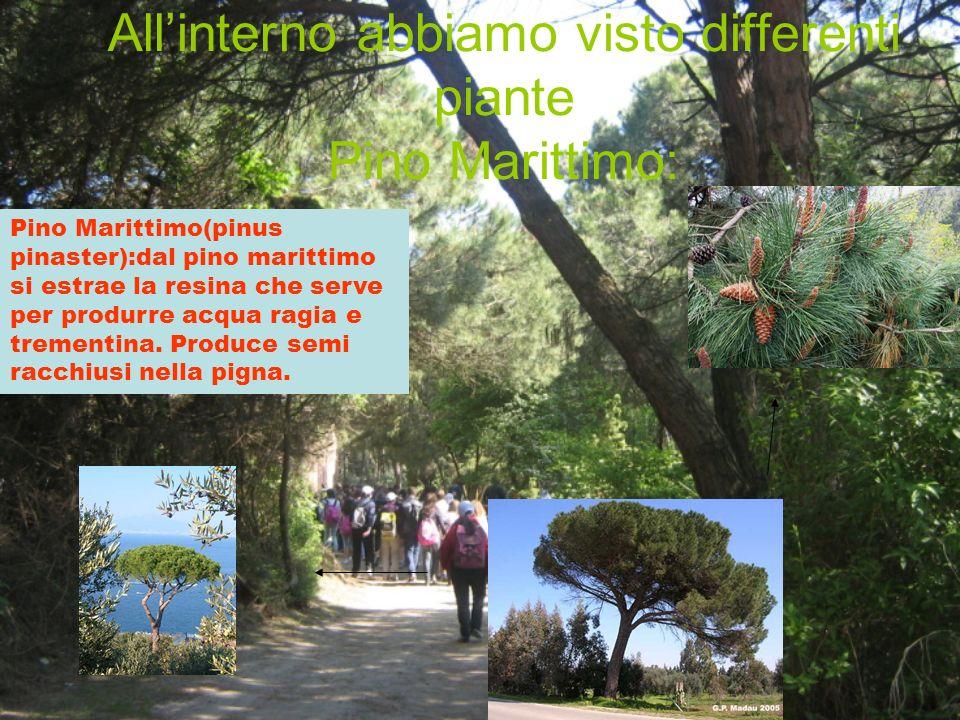 Allinterno abbiamo visto differenti piante Pino Marittimo: Pino Marittimo(pinus pinaster):dal pino marittimo si estrae la resina che serve per produrr