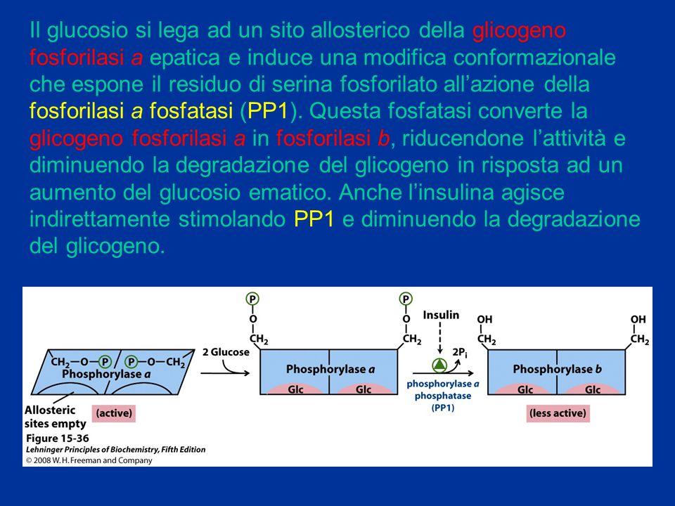 Il glucosio si lega ad un sito allosterico della glicogeno fosforilasi a epatica e induce una modifica conformazionale che espone il residuo di serina