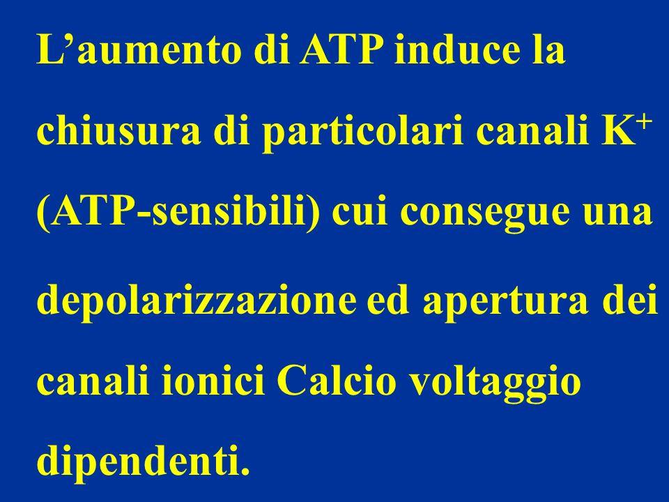 Laumento di ATP induce la chiusura di particolari canali K + (ATP-sensibili) cui consegue una depolarizzazione ed apertura dei canali ionici Calcio vo