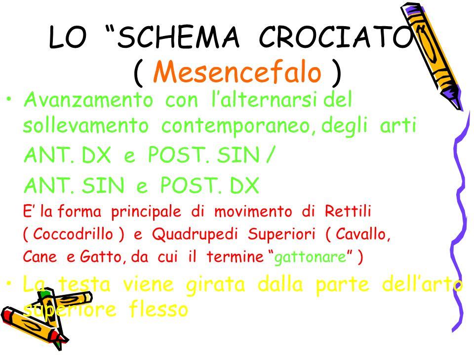 LO SCHEMA CROCIATO ( Mesencefalo ) Avanzamento con lalternarsi del sollevamento contemporaneo, degli arti ANT. DX e POST. SIN / ANT. SIN e POST. DX E
