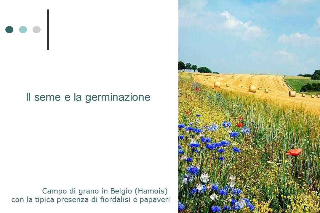 Il seme e la germinazione Campo di grano in Belgio (Hamois) con la tipica presenza di fiordalisi e papaveri