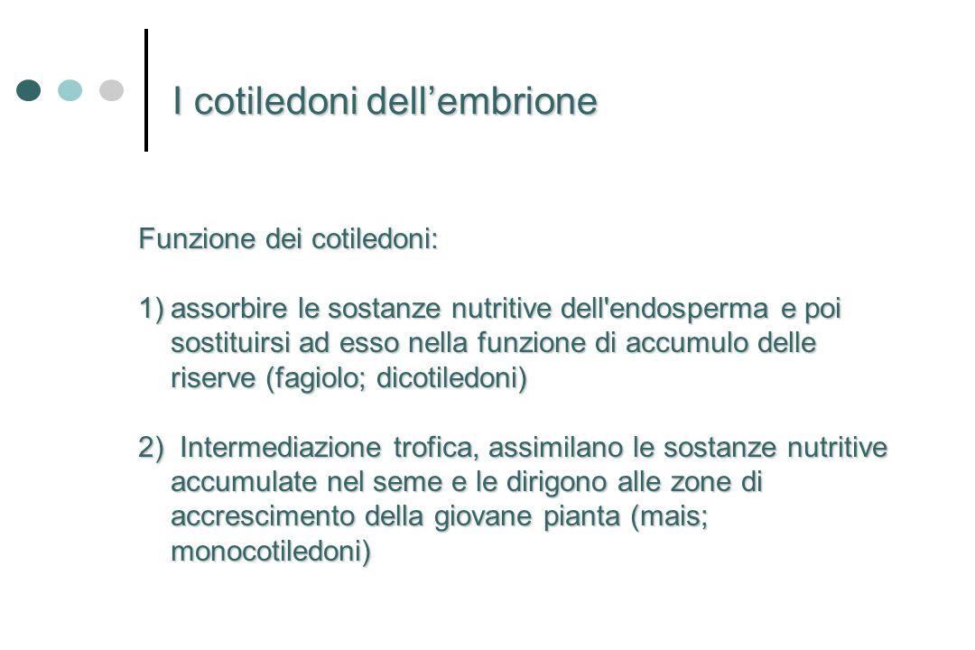 Funzione dei cotiledoni: 1)assorbire le sostanze nutritive dell'endosperma e poi sostituirsi ad esso nella funzione di accumulo delle riserve (fagiolo