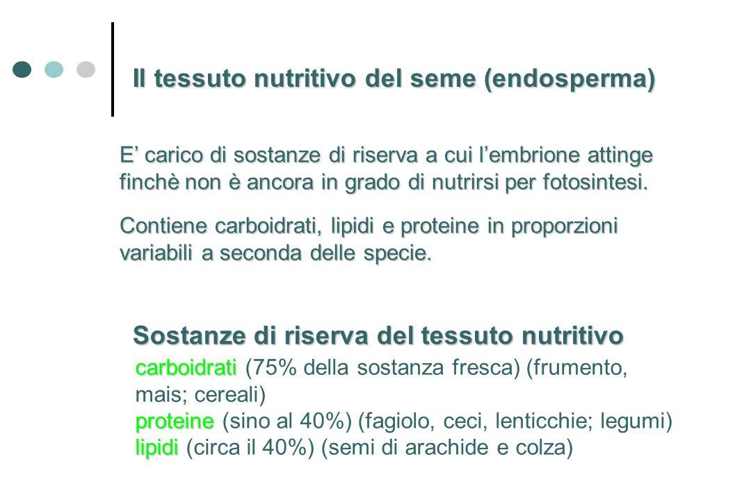 E carico di sostanze di riserva a cui lembrione attinge finchè non è ancora in grado di nutrirsi per fotosintesi. Il tessuto nutritivo del seme (endos