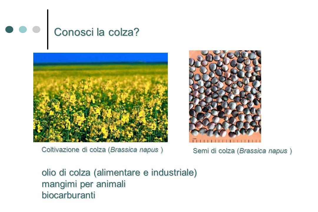 olio di colza (alimentare e industriale) mangimi per animali biocarburanti Semi di colza (Brassica napus ) Coltivazione di colza (Brassica napus ) Con