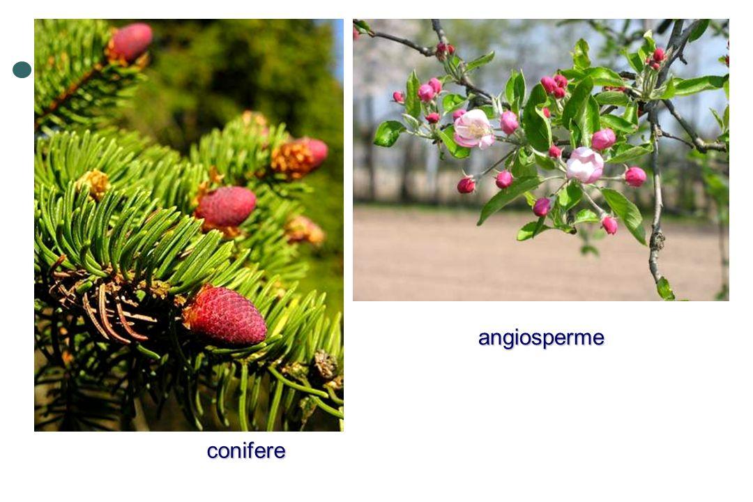 conifere angiosperme