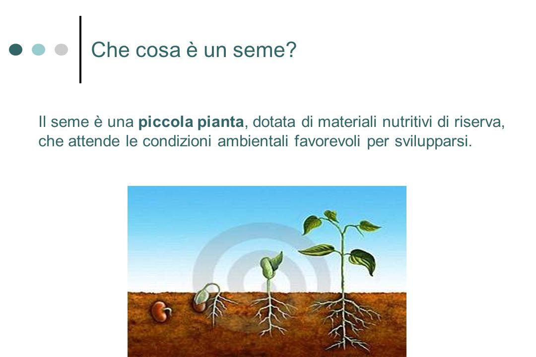 Che cosa è un seme? Il seme è una piccola pianta, dotata di materiali nutritivi di riserva, che attende le condizioni ambientali favorevoli per svilup