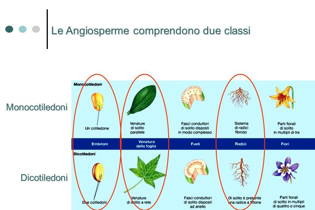 Le Angiosperme comprendono due classi Monocotiledoni Dicotiledoni
