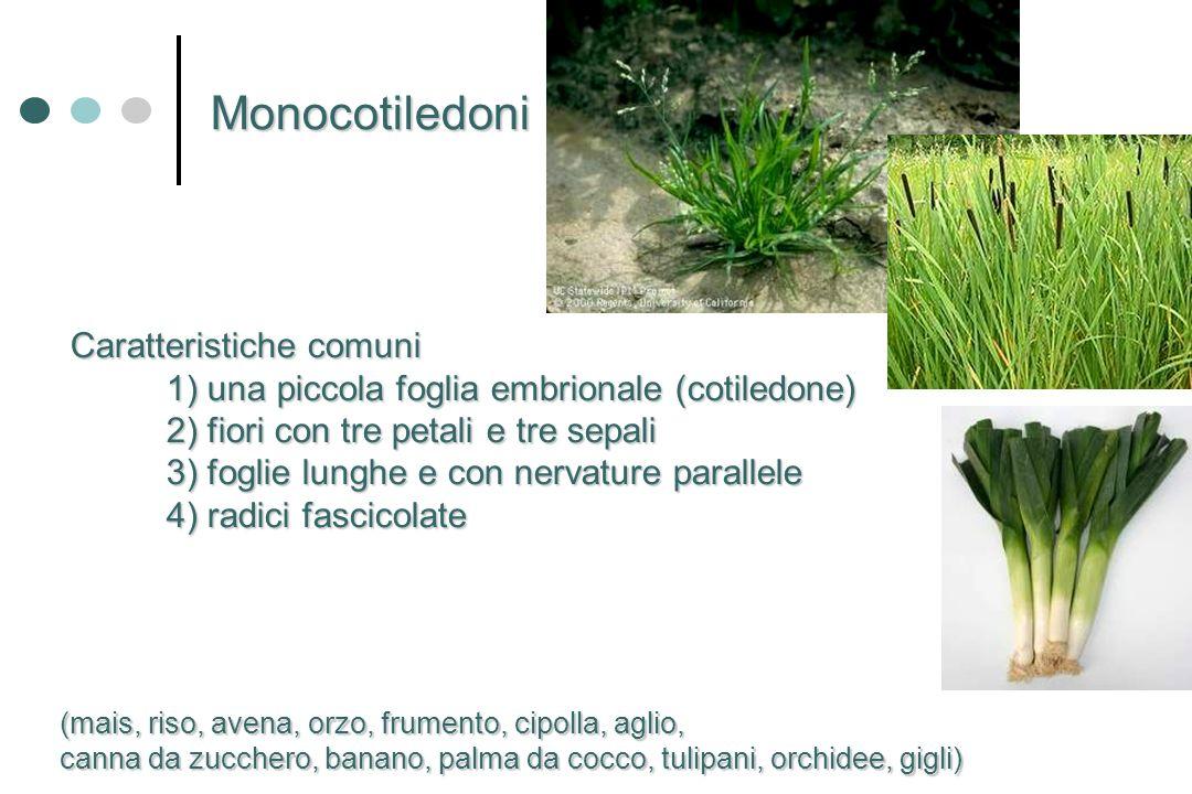 Caratteristiche comuni Caratteristiche comuni 1) una piccola foglia embrionale (cotiledone) 2) fiori con tre petali e tre sepali 3) foglie lunghe e co