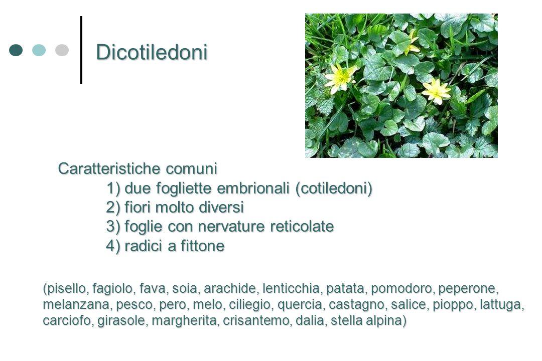 Caratteristiche comuni 1) due fogliette embrionali (cotiledoni) 2) fiori molto diversi 3) foglie con nervature reticolate 4) radici a fittone Dicotile