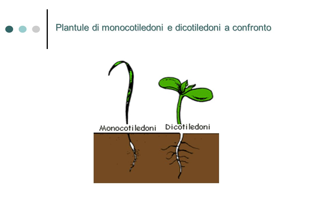 Plantule di monocotiledoni e dicotiledoni a confronto