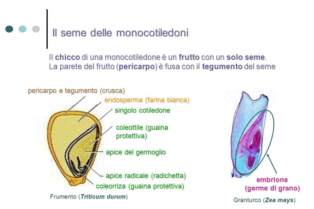 embrione (germe di grano) Il chicco di una monocotiledone è un frutto con un solo seme. La parete del frutto (pericarpo) è fusa con il tegumento del s