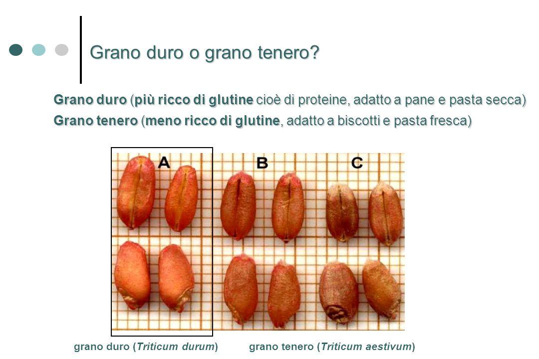 grano duro (Triticum durum)grano tenero (Triticum aestivum) Grano tenero (meno ricco di glutine, adatto a biscotti e pasta fresca) Grano duro o grano