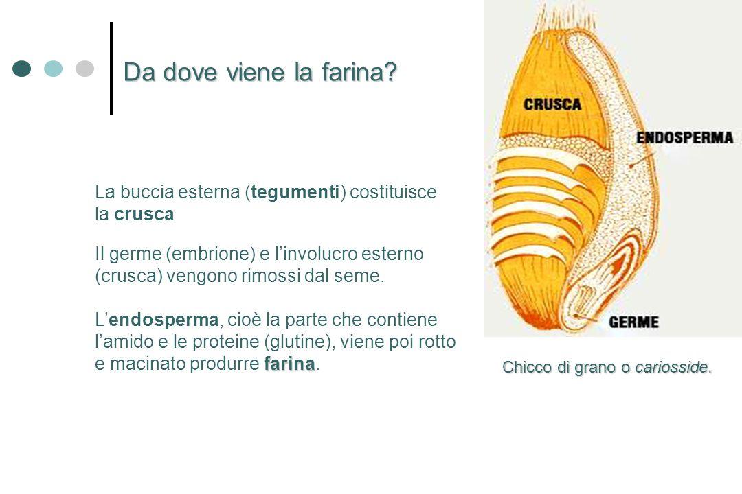 Da dove viene la farina? Chicco di grano o cariosside. Il germe (embrione) e linvolucro esterno (crusca) vengono rimossi dal seme. farina Lendosperma,