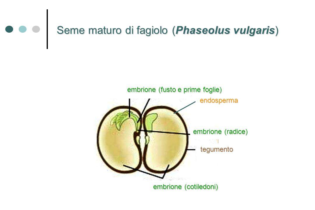 Seme maturo di fagiolo (Phaseolus vulgaris) embrione (cotiledoni) tegumento embrione (fusto e prime foglie) embrione(radice) embrione (radice) endospe