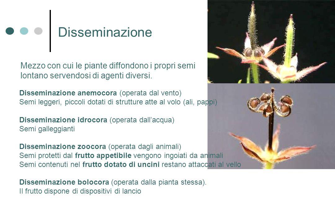 Mezzo con cui le piante diffondono i propri semi lontano servendosi di agenti diversi. Disseminazione Disseminazione anemocora (operata dal vento) Sem