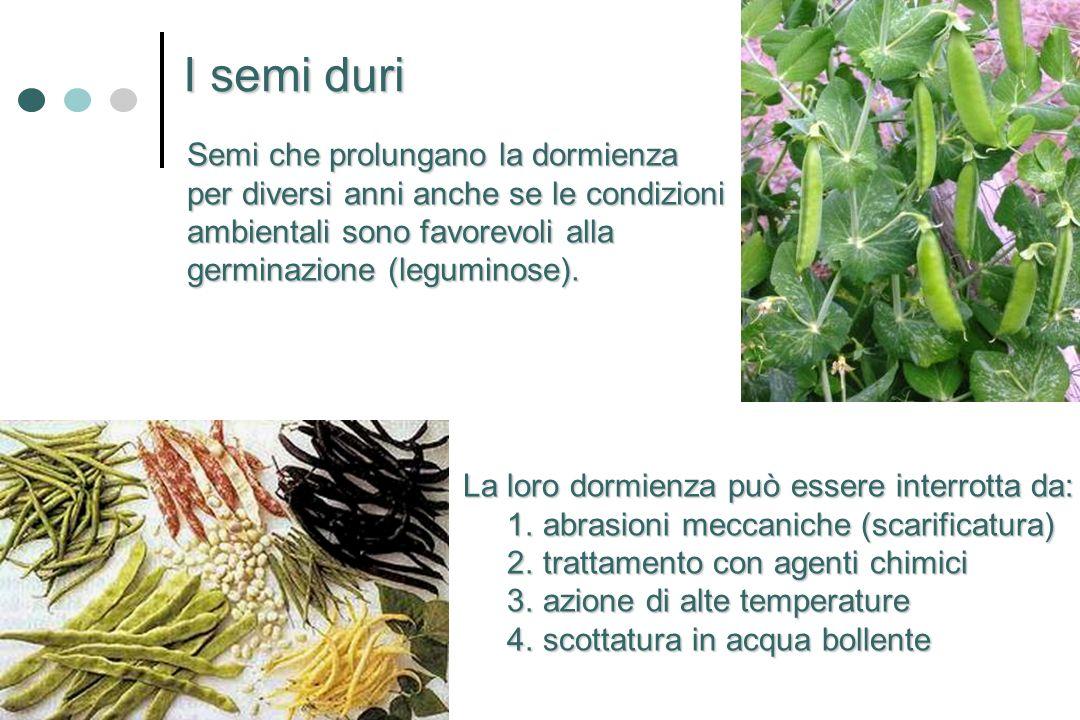 I semi duri Semi che prolungano la dormienza per diversi anni anche se le condizioni ambientali sono favorevoli alla germinazione (leguminose). La lor