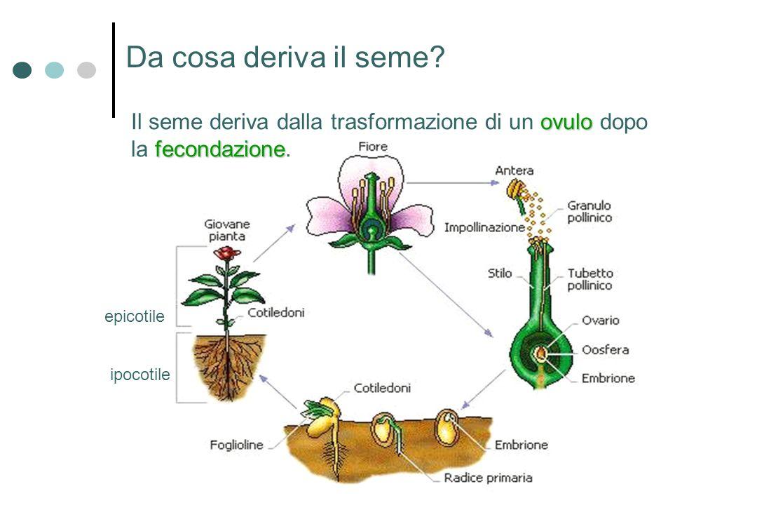 Da cosa deriva il seme? ipocotile epicotile ovulo fecondazione Il seme deriva dalla trasformazione di un ovulo dopo la fecondazione.