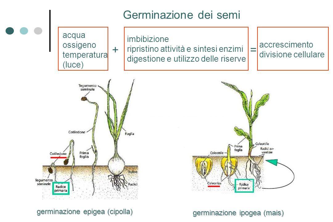 germinazione epigea (cipolla) germinazione ipogea (mais) Germinazione dei semi acqua ossigeno temperatura (luce) imbibizione ripristino attività e sin