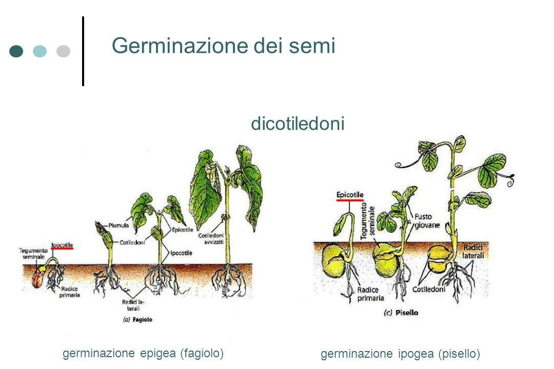 germinazione epigea (fagiolo) germinazione ipogea (pisello) Germinazione dei semi dicotiledoni