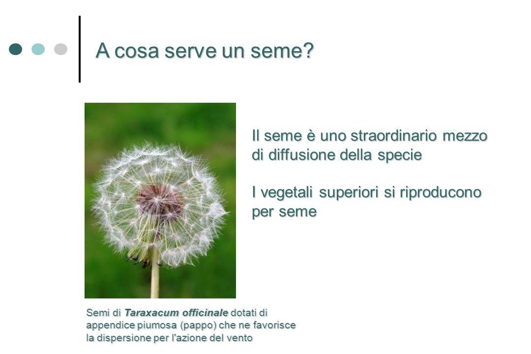 Il seme è uno straordinario mezzo di diffusione della specie I vegetali superiori si riproducono per seme A cosa serve un seme? Semi di Taraxacum offi