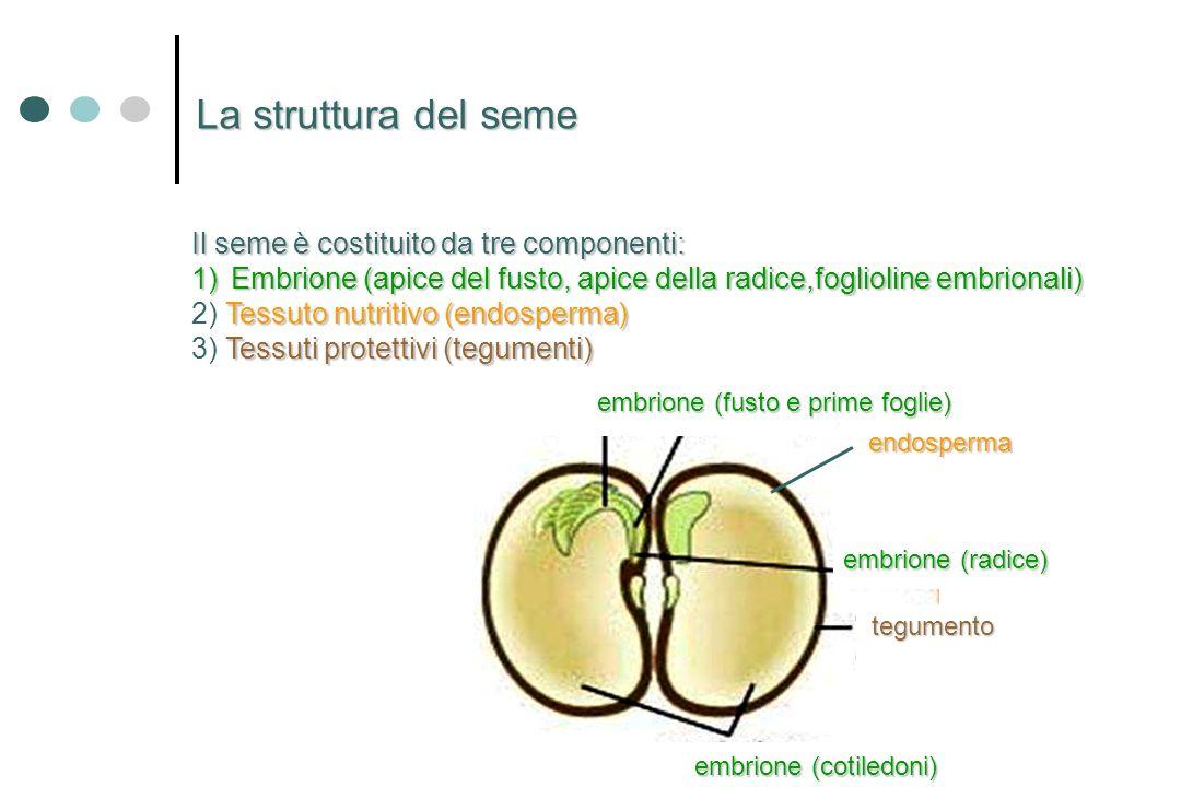 Nellembrione cè la futura pianta adulta: 1) un apice del futuro fusto 1) un apice del futuro fusto 2) un apice della radice 2) un apice della radice 3) un corto asse che li collega 3) un corto asse che li collega 4) una o più foglie embrionale 4) una o più foglie embrionale o cotiledoni o cotiledoni una (Monocotiledoni) una (Monocotiledoni) due (Dicotiledoni) due (Dicotiledoni) molte (Gimnosperme) molte (Gimnosperme) Lembrione nel seme è una nuova pianta in miniatura.