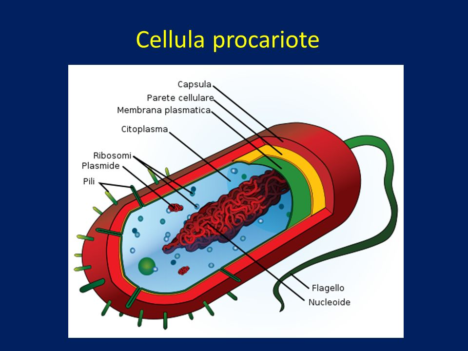 Cellula eucariote