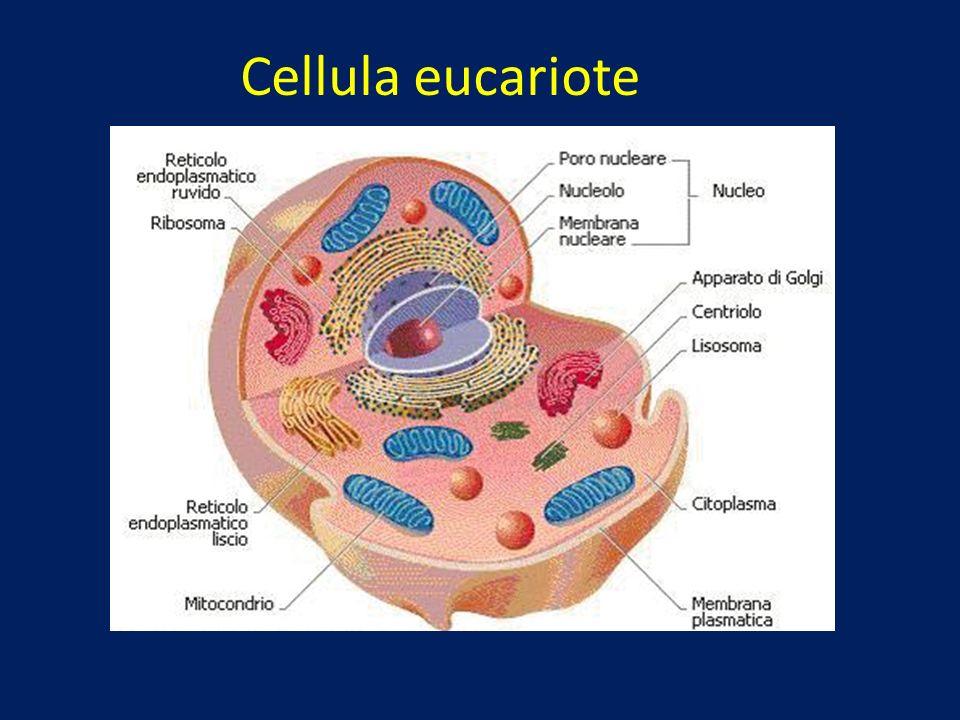 4.Alcuni batteri sintetizzano sostanze di cui il nostro organismo ha bisogno Esempio: E.