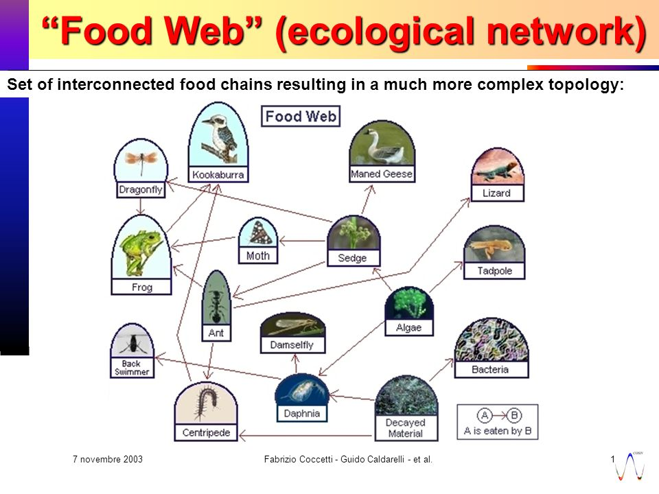 7 novembre 2003 Fabrizio Coccetti - Guido Caldarelli - et al.18 Set of interconnected food chains resulting in a much more complex topology: Food Web (ecological network)