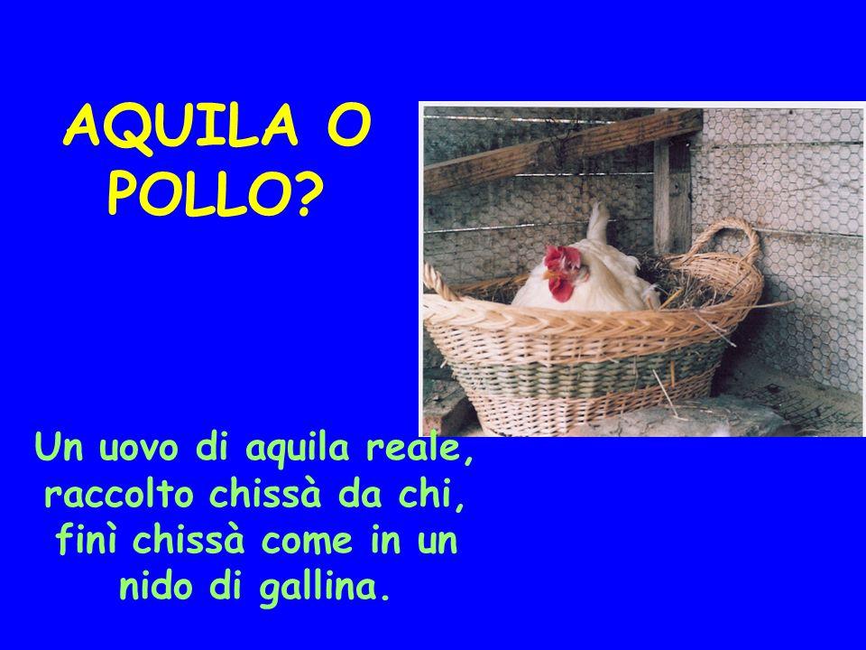 AQUILA O POLLO? Un uovo di aquila reale, raccolto chissà da chi, finì chissà come in un nido di gallina.