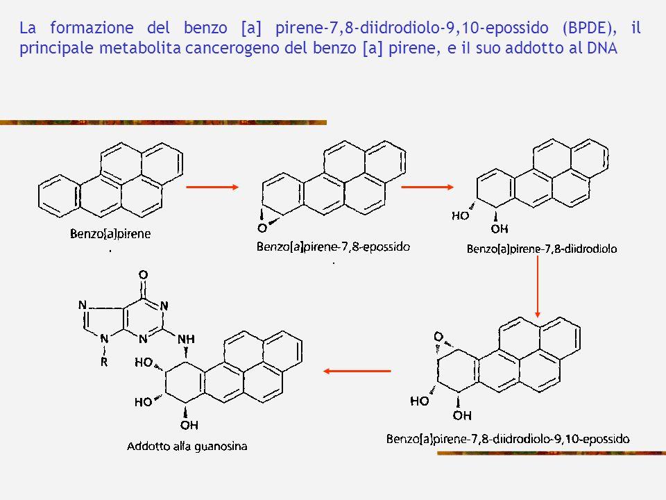 La formazione del benzo [a] pirene-7,8-diidrodiolo-9,10-epossido (BPDE), il principale metabolita cancerogeno del benzo [a] pirene, e iI suo addotto a