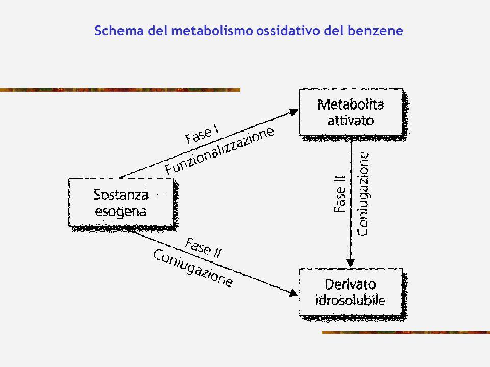 Schema del metabolismo ossidativo del benzene