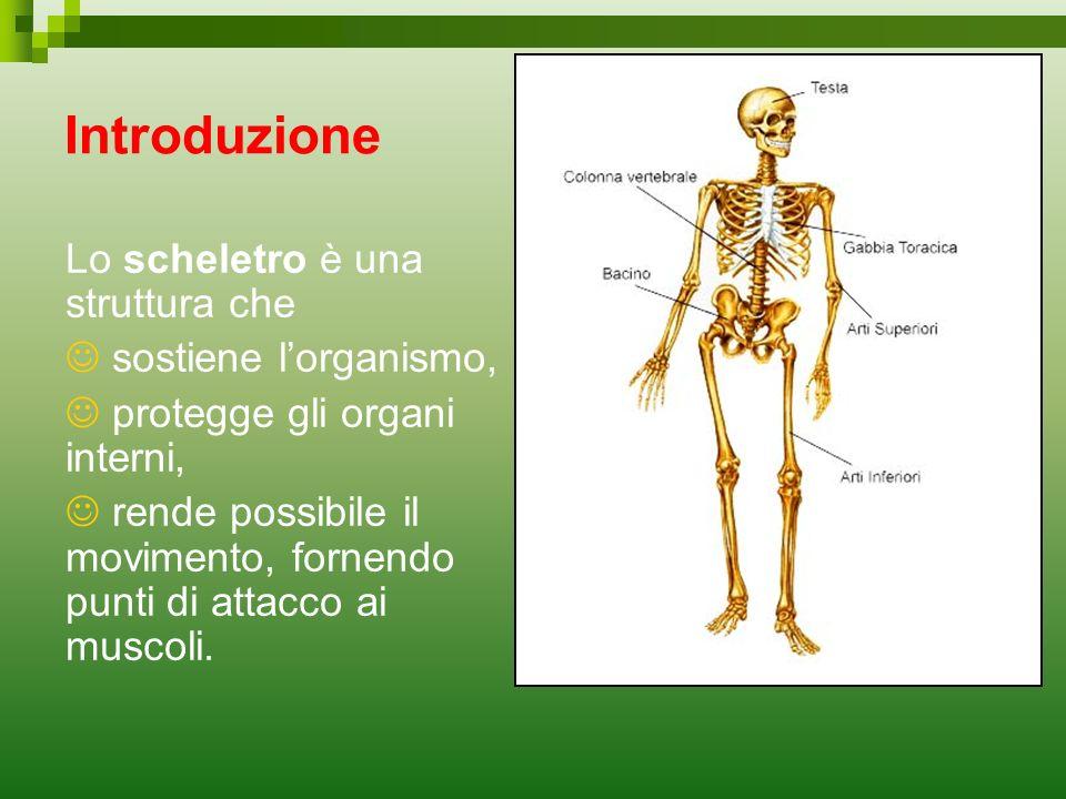 Introduzione Lo scheletro è una struttura che sostiene lorganismo, protegge gli organi interni, rende possibile il movimento, fornendo punti di attacc