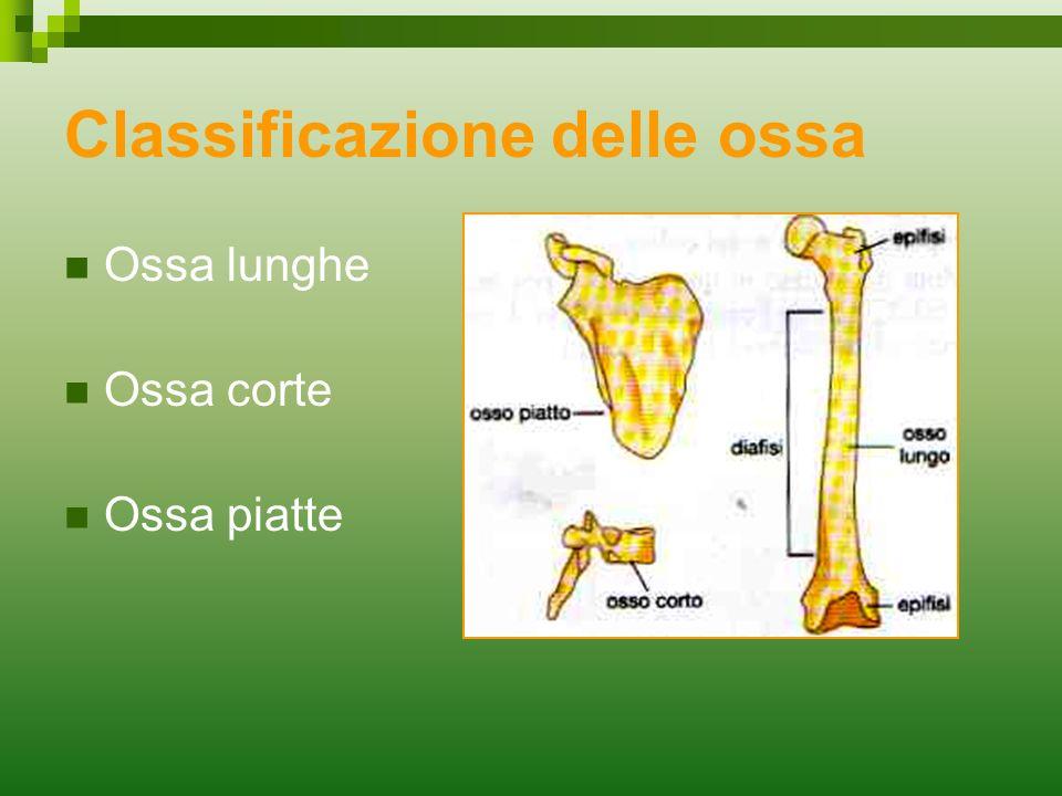 Classificazione delle ossa Ossa lunghe Ossa corte Ossa piatte
