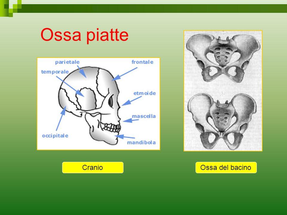 Ossa piatte Ossa del bacinoCranio