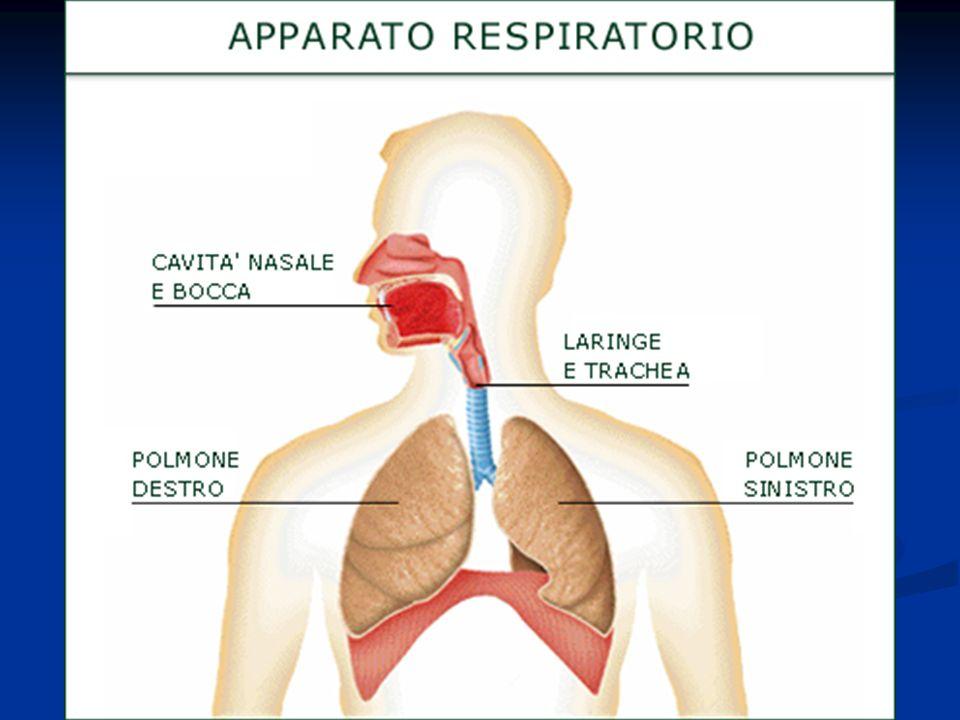 Meccanica respiratoria A livello cerebrale è presente il centro del respiro (situato nel bulbo), che regola tutta lattività respiratoria.