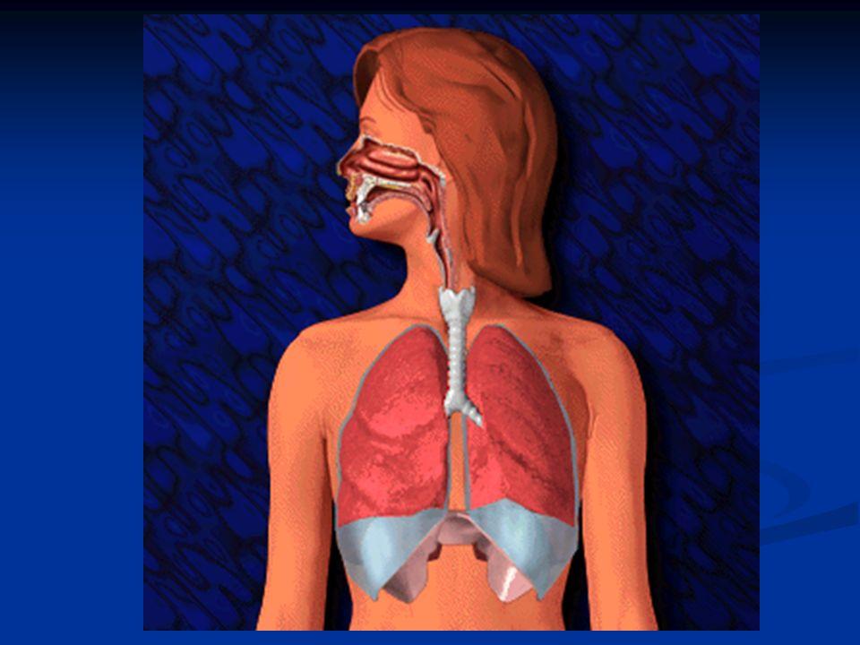 Anatomia e fisiologia Analoga funzione alle ciglia nasali la compie l epitelio cigliato che fodera l interno del canale respiratorio.