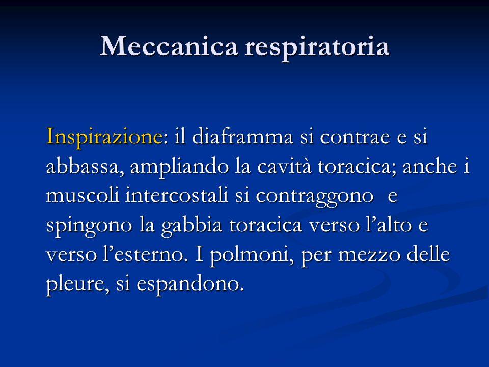 Meccanica respiratoria Inspirazione: il diaframma si contrae e si abbassa, ampliando la cavità toracica; anche i muscoli intercostali si contraggono e
