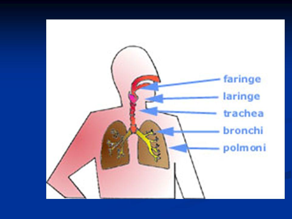 La respirazione è quellinsieme di processi che consistono essenzialmente in uno scambio gassoso tra lorganismo e lambiente esterno, con assorbimento di ossigeno ed eliminazione di anidride carbonica.