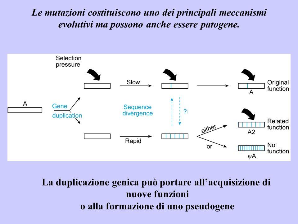 Le mutazioni costituiscono uno dei principali meccanismi evolutivi ma possono anche essere patogene. La duplicazione genica può portare allacquisizion