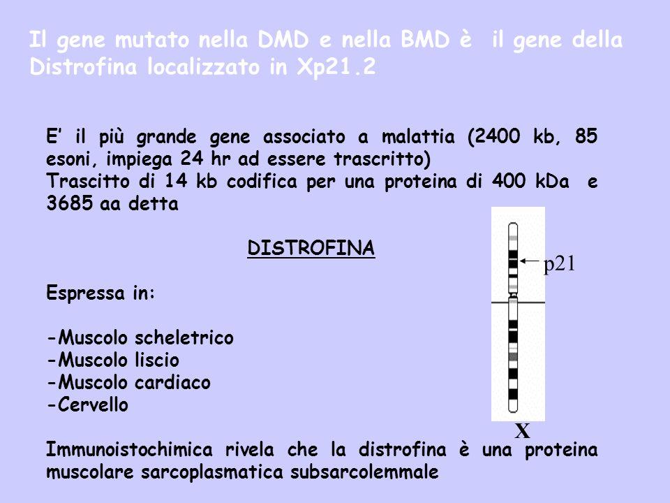 E il più grande gene associato a malattia (2400 kb, 85 esoni, impiega 24 hr ad essere trascritto) Trascitto di 14 kb codifica per una proteina di 400