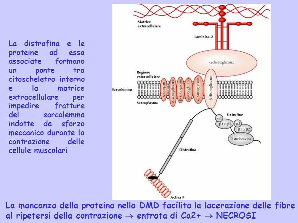 La distrofina e le proteine ad essa associate formano un ponte tra citoscheletro interno e la matrice extracellulare per impedire fratture del sarcole