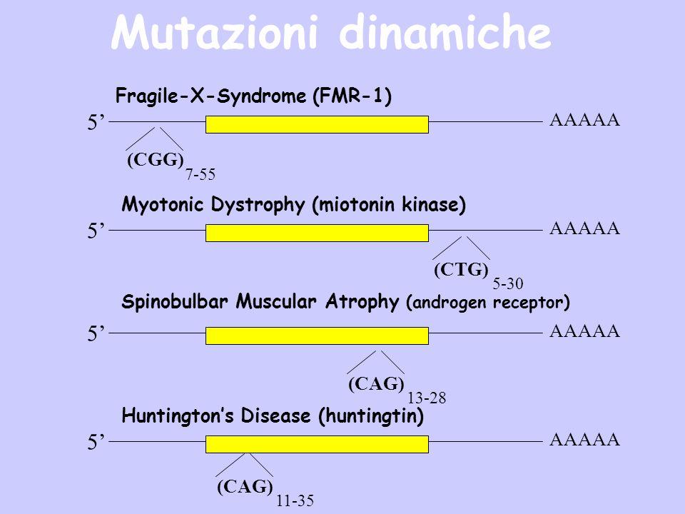 5 AAAAA 5 5 5 Myotonic Dystrophy (miotonin kinase) (CAG) 11-35 (CAG) 13-28 (CGG) 7-55 (CTG) 5-30 Spinobulbar Muscular Atrophy (androgen receptor) Hunt