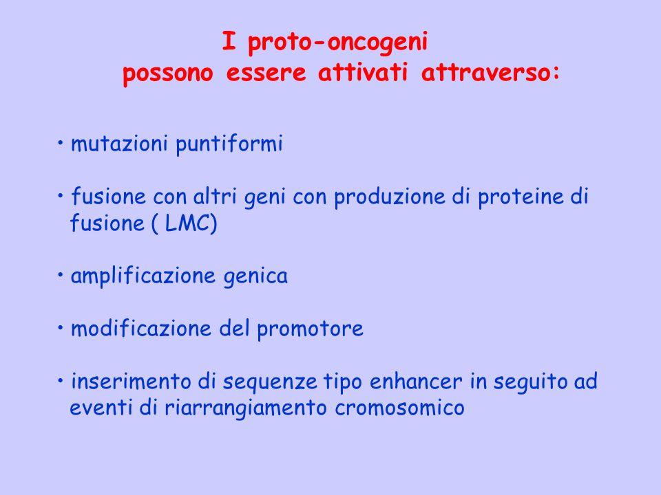 I proto-oncogeni possono essere attivati attraverso: mutazioni puntiformi fusione con altri geni con produzione di proteine di fusione ( LMC) amplific