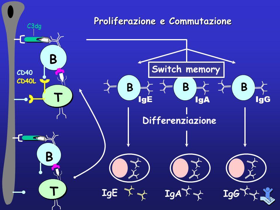 B T IgE IgAIgG Differenziazione Proliferazione e Commutazione C3dgB T CD40 CD40L B IgE B IgA B IgG Switch memory